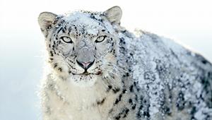 snowleopard.png